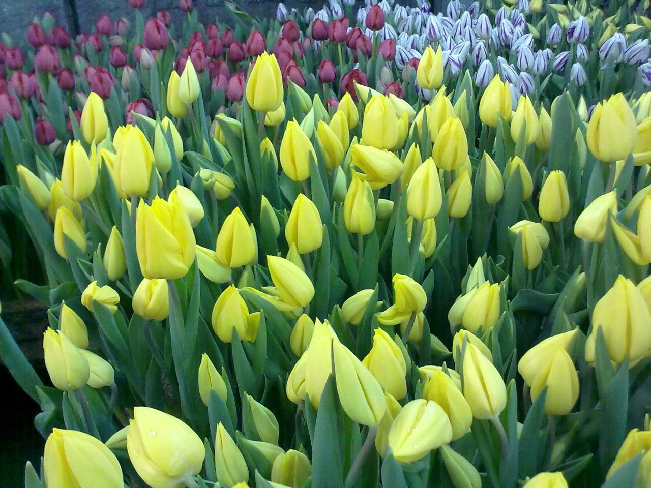 Купить тюльпаны оптом красноярск заказ цветов и семян по украине